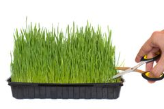 Pruning of wheat germinated in a container with scissors. Green pruning of wheat germinated in a black container with scissors Royalty Free Stock Image