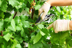 Pruning wine grapes royalty free stock photo