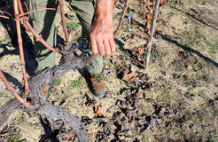 Pruning in a wineyard Stock Photography