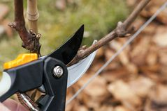 Pruning in a wineyard Stock Photos