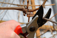Pruning in winter Royalty Free Stock Image