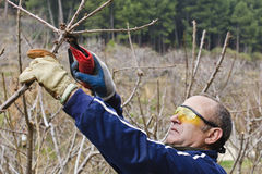 Pruning. Worker with pneumatic shears pruning cherry royalty free stock image