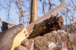 Pruning young fruit trees with a garden saw for branches royalty free stock photo