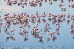 Prunk von Flamingos, Tansania Lizenzfreie Stockbilder