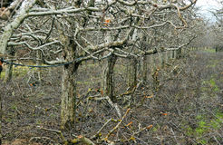 Prunned Apple Tree Orchard Royalty Free Stock Images