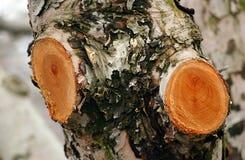 Free Prunned Old  Apple Tree Stock Image - 49616081