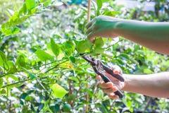 Prunning Scheren des Gärtnergebrauches Stockfoto