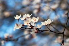 Prunus Stock Images