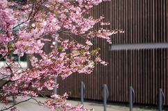 Prunus Accolade. Japanese cherry blossom tree blooming royalty free stock photography