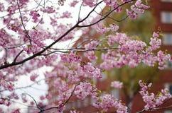 Prunus Accolade. Japanese cherry blossom tree blooming royalty free stock photos