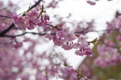 Prunus Accolade. Japanese cherry blossom tree blooming royalty free stock images