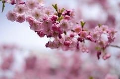 Prunus Accolade. Japanese cherry blossom tree blooming stock image