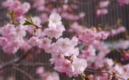 Prunus Accolade. Japanese cherry blossom tree blooming stock photos