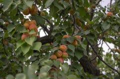 Prunus armeniaca gałąź pełno prażonki, dojrzewający morele na drzewie podczas lato sezonu fotografia royalty free