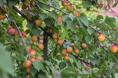 Prunus armeniaca gałąź pełno prażonki, dojrzewający morele na drzewie podczas lato sezonu obrazy stock