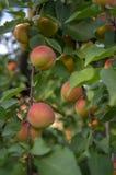 Prunus armeniaca gałąź pełno prażonki, dojrzewający morele na drzewie podczas lato sezonu obrazy royalty free