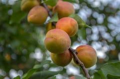 Prunus armeniaca gałąź pełno prażonki, dojrzewający morele na drzewie podczas lato sezonu zdjęcie royalty free