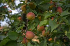 Prunus Armeniaca Tree Branches Full Of Frits, Ripening Apricots On The Tree During Summer Season Royalty Free Stock Image