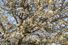 Prunus avium blühende Kirsche Kirschblumen auf einem Baumast Lizenzfreies Stockbild