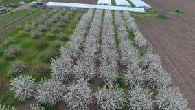 Prunus avium Flowering cherry. Cherry flowers on a tree branch.  stock footage