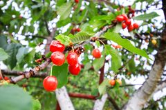 Prunus avium or sweet cherry ripe fruits on the branch. Prunus avium or sweet cherry ripe red fruits on the tree branch in summer garden royalty free stock photo