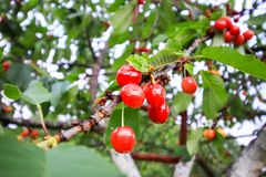Prunus avium or sweet cherry ripe fruits on the branch. Prunus avium or sweet cherry ripe red fruits on the tree branch in summer garden stock images