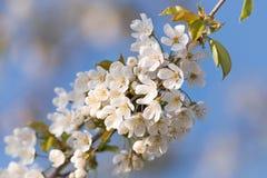 Prunus-Baum-Blüte auf blauem Himmel Stockfoto