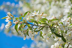 Prunus bird cherry, macro Royalty Free Stock Images