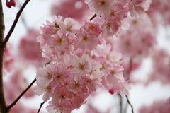 Prunus Blireiana pink blossoms on a tree in the Groene Hart Park. In Nieuwerkerk aan den ijssel in the spring stock image