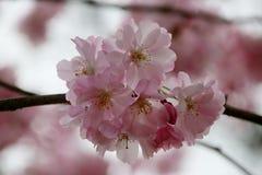 Prunus Blireiana pink blossoms on a tree in the Groene Hart Park. In Nieuwerkerk aan den ijssel in the spring royalty free stock images