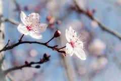 Prunus blossom pisardi Stock Photos