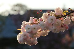Prunus Borgonha real Foto de Stock