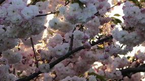 Prunus Borgonha real Fotos de Stock