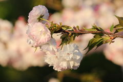 Prunus Borgonha real Foto de Stock Royalty Free