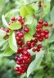 Prunus Royalty Free Stock Photo