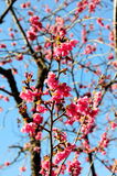 Prunus campanulata Royalty Free Stock Images