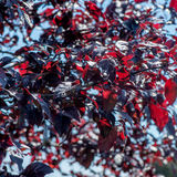 Prunus ceracifera. Close view of Prunus ceracifera Nigra, with red leaves and round prunes Royalty Free Stock Images