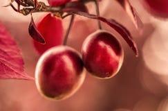Prunus cerasifera 'Nigra' Fruchtabschluß oben Lizenzfreie Stockfotos