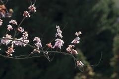Prunus cerasifera Immagini Stock