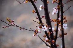 Prunus cerasifera blooming in spring.  royalty free stock photo