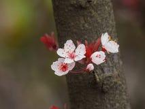 Prunus cerasifera or common names cherry plum. Spring flowers series: Prunus cerasifera or common names cherry plum and myrobalan plum branch with flowers and stock photos