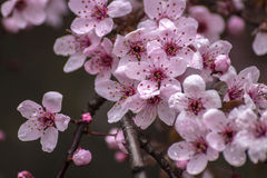 Prunus Cerasifera Detail. Spring Pink Little Flowers. On Brunch Detail Stock Image