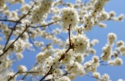 Prunus cerasifera flowers Stock Photos