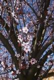 Prunus cerasifera nigra in bloom. Flowered branch of Prunus cerasifera nigra  tree stock images
