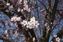 Prunus cerasifera nigra in bloom. Flowered branch of Prunus cerasifera nigra  tree royalty free stock photos