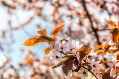 Prunus cerasifera Pissardii.Beautiful flowers plum background. Floral spring background. Plum tree in bloom on a spring warm and. Prunus cerasifera Pissardii royalty free stock image