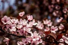 Prunus cerasifera Pissardii.Beautiful flowers plum background. Floral spring background. Plum tree in bloom on a spring warm and. Prunus cerasifera Pissardii stock photo