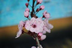 Free PRUNUS CERASIFERA/ `PISSARDII NIGRA`/cherry Plum/myrobalan Plum Stock Images - 90561894