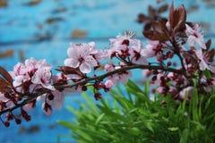 PRUNUS CERASIFERA/ `PISSARDII NIGRA`/cherry plum/myrobalan plum Royalty Free Stock Image