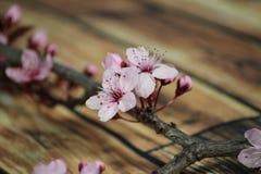 PRUNUS CERASIFERA/ `PISSARDII NIGRA`/cherry plum/myrobalan plum Stock Images